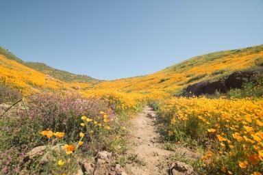 2017_California_Super_Bloom_-_California_Poppies.jpg
